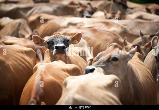 jersey dairy uk