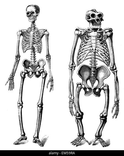 gorilla drawing stock photos & gorilla drawing stock images - alamy, Skeleton