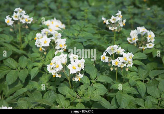 Flowers Of Potato Stock Photos & Flowers Of Potato Stock ...