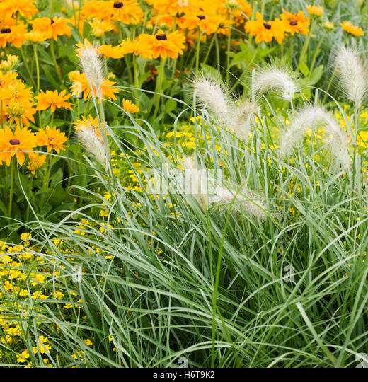 Tagetes is perennial stock photos tagetes is perennial for Ornamental grass with yellow flowers