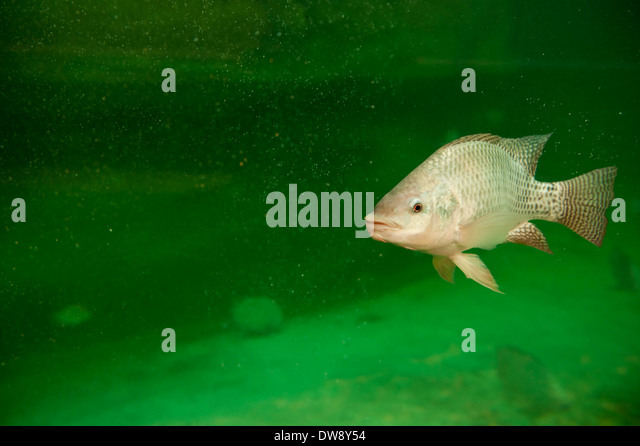 Tilapia fish stock photos tilapia fish stock images alamy for Tilapia swimming