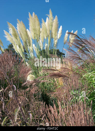 Pampas grass stock photos pampas grass stock images alamy for Variegated ornamental grass varieties