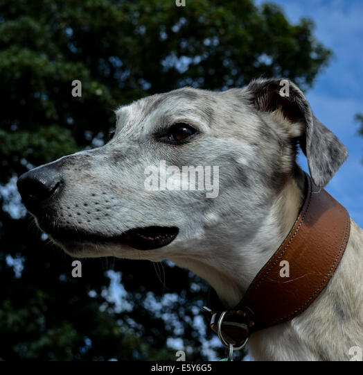 Lurcher Stock Photos Amp Lurcher Stock Images Alamy