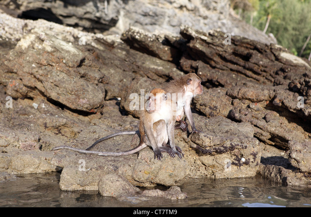 Long Tail Macaque Stock Photos & Long Tail Macaque Stock ...