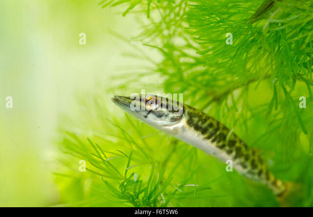 Northern Pike Esox Lucius Stock Photos & Northern Pike ...