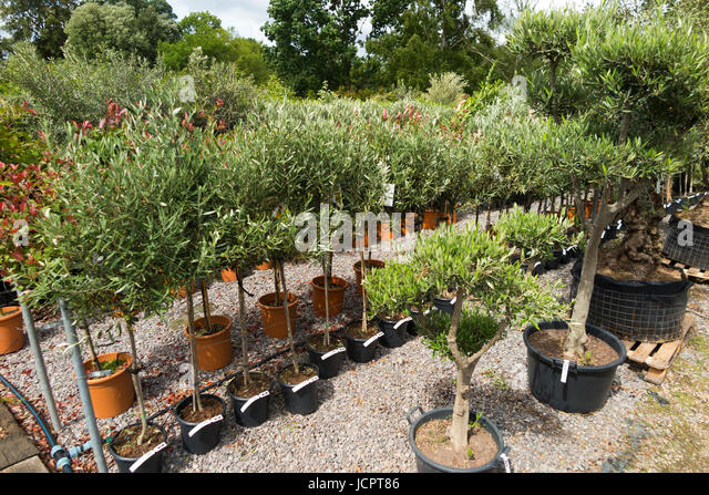 Olive tree uk stock photos olive tree uk stock images for Olive trees in pots winter care