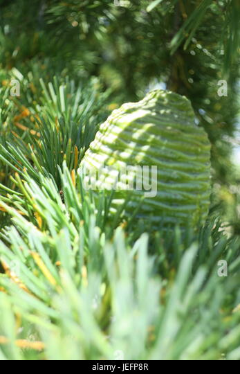 yellow pine women Southern yellow pine is not a species it is a description of where certain species of pine grow and flourish based on growing climate we produce our knotty pine using alabama longleaf southern yellow pine   see more ideas about southern, pine and pine tree.