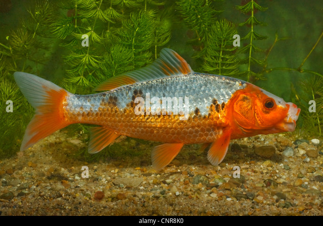 Aquaristic stock photos aquaristic stock images alamy for Cyprinus carpio koi