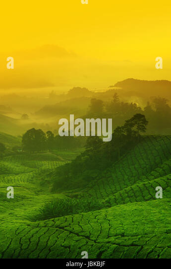 Wood platform landscape view of tea plantation with blue sky in ...