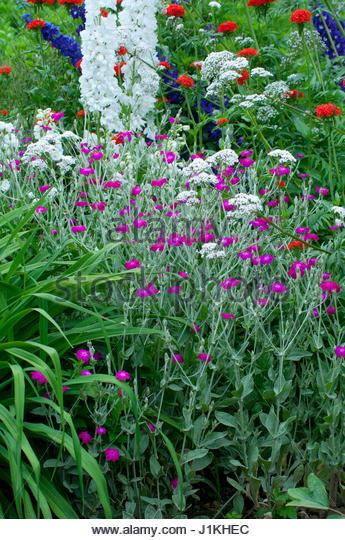 Floraison estivale stock photos floraison estivale stock - Coquelourde des jardins lychnis coronaria ...