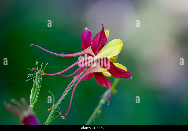 red and yellow columbine flower stock photos  red and yellow, Beautiful flower