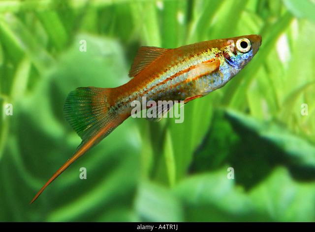 green swordtail / Xiphophorus helleri - Stock Image