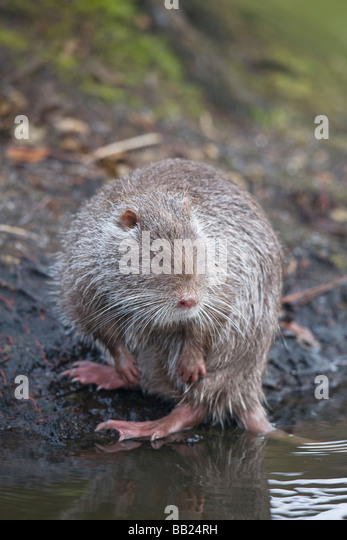Is this mammal an invasive species?