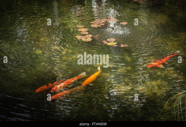 Koi japan stock photos koi japan stock images alamy for Colorful pond fish