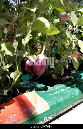 how to grow aubergines in pots uk