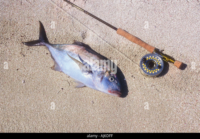 Bar jack stock photos bar jack stock images alamy for Bar jack fishing