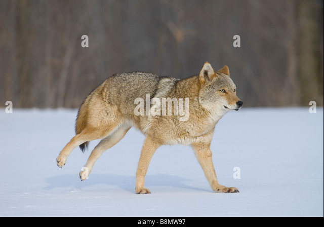 Wolf Pelts Stock Photos & Wolf Pelts Stock Images - Alamy  Wolf Pelts Stoc...
