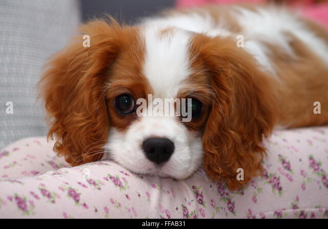 4 6 Year Male Cavalier King Charles Spaniel: Cavalier King Charles Spaniels Stock Photos & Cavalier