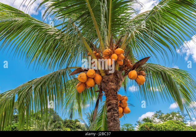 King Palm Stock Photos King Palm Stock Images Alamy