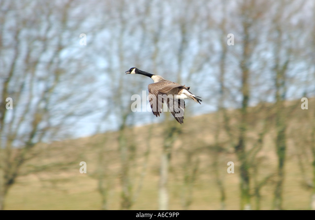 Canada Goose trillium parka sale official - Canada Goose Air Stock Photos & Canada Goose Air Stock Images - Alamy