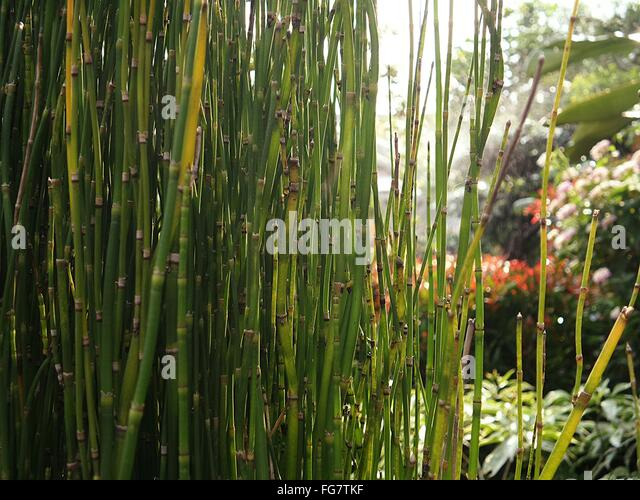 Bamboo Plants Stock Photos Bamboo Plants Stock Images