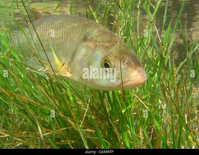 Common Dace / (Leuciscus leuciscus) - Stock Image