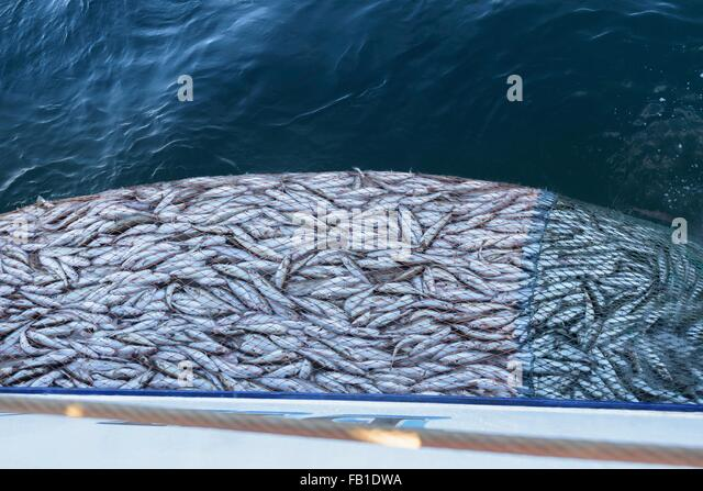 how to cook whiting fish