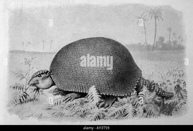 glyptodon asper stock image