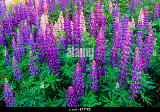 Perennial Lupine