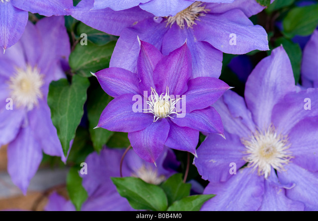 a purple clematis vine in full bloom climbs a trellis in a flower garden oklahoma