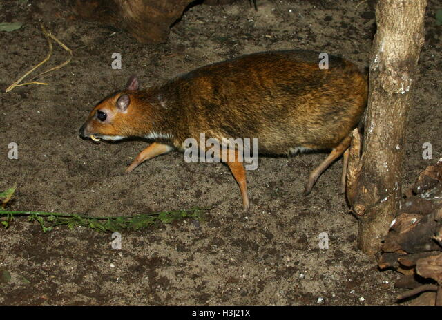 Male Philippine mouse deer (Tragulus nigricans), a.k.a. Balabac ...