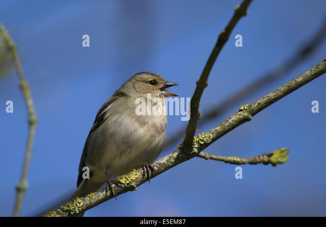 Chante stock photos chante stock images alamy for Oiseau france