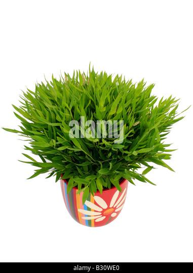 Mini Bamboo Plant : Green ornamental grasses perennials stock photos