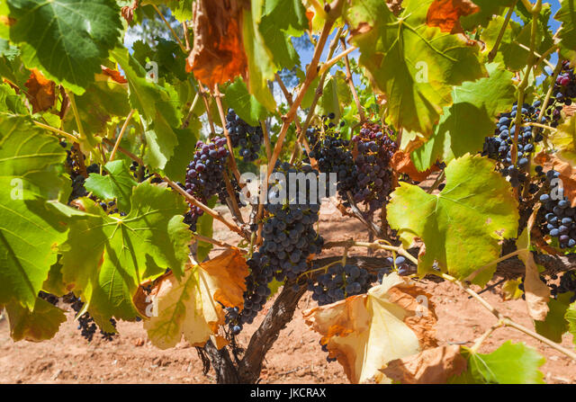 Wines cockatoo au ridge