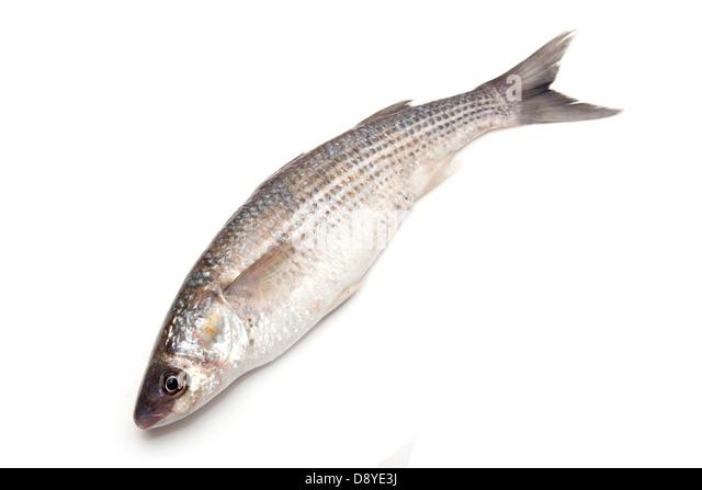 Mugil cephalus stock photos mugil cephalus stock images for Mullet fish florida