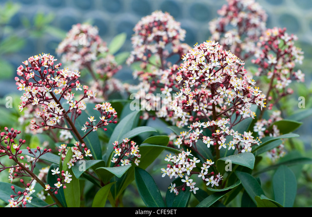 skimmia japonica stock photos skimmia japonica stock. Black Bedroom Furniture Sets. Home Design Ideas