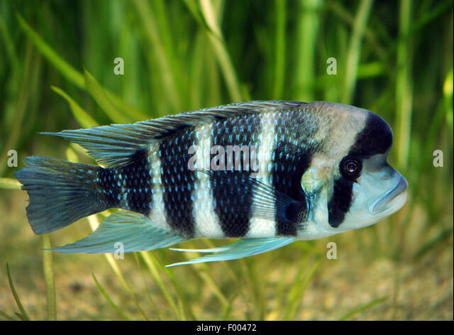 humphead cichlid frontosa cyphotilapia frontosa swimming stock image