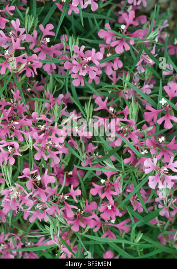 clarkia men People take echinacea in the hope of preventing colds and a long list of other ailments from rattlesnake bite to syphilis and septicemia but how trustworthy are the products people buy, and do they work as claimed.