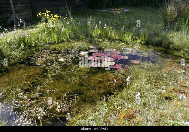 Water lily with dragonflies stock photos water lily with for Ornamental fish pond