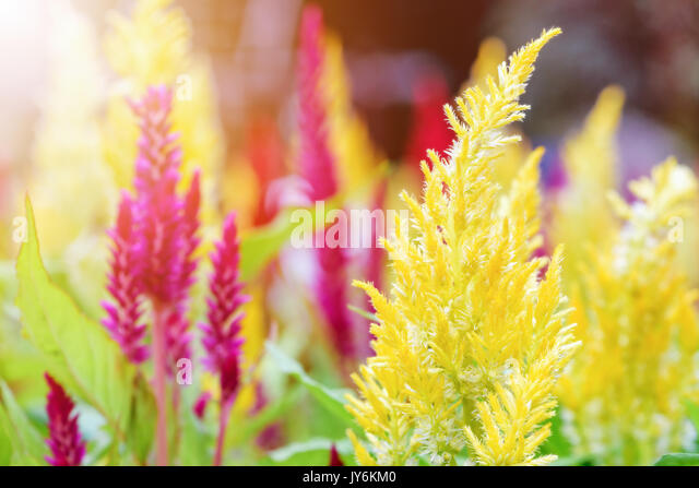 celosia plumosa stock photos  u0026 celosia plumosa stock