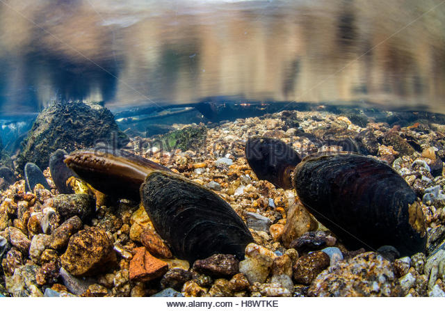 freshwater mussel and water quality a Freshwater mussels freshwater mussels provide critical ecosystem services by but differ in the extent to which mussel biomass and water quality.
