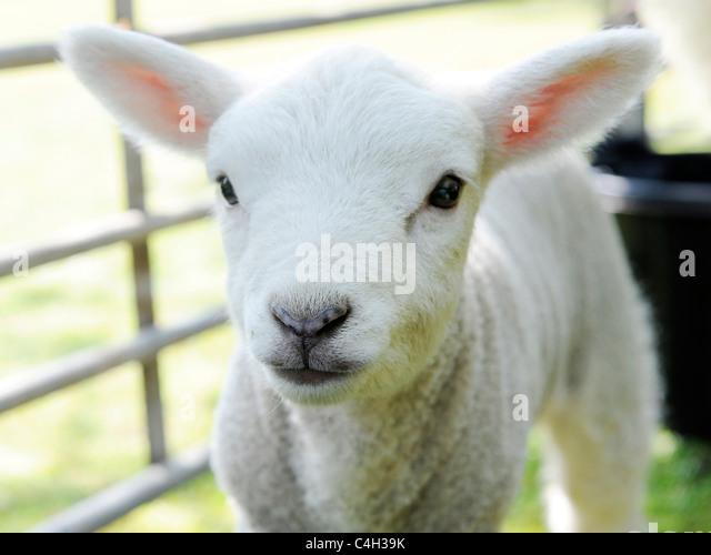A Small Baby Lamb