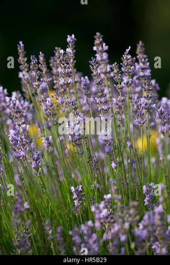 echter lavendel stock photos echter lavendel stock. Black Bedroom Furniture Sets. Home Design Ideas