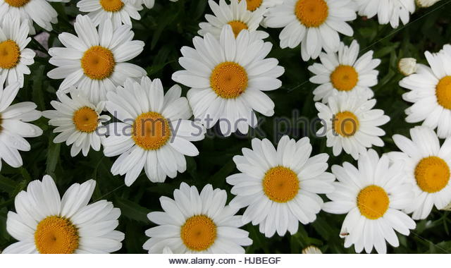 Yellow flower centers stock photos yellow flower centers stock lots of white daisies with yellow centers growing outside in the summer stock image mightylinksfo Images