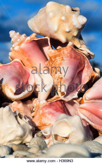 Conch Shells Stock Photos Amp Conch Shells Stock Images Alamy