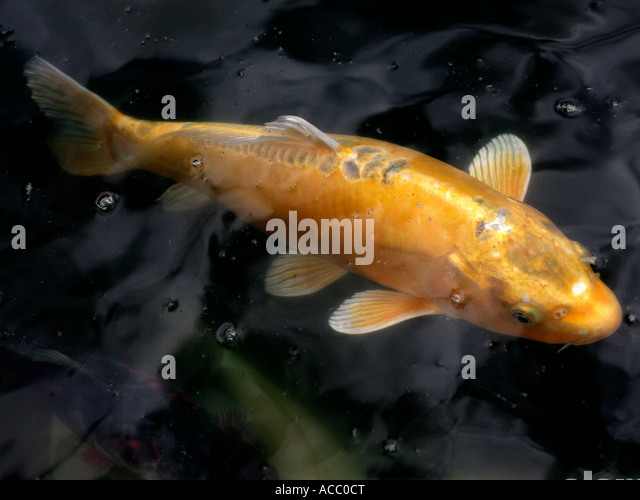 Koi stock photos koi stock images alamy for Koi fish australia