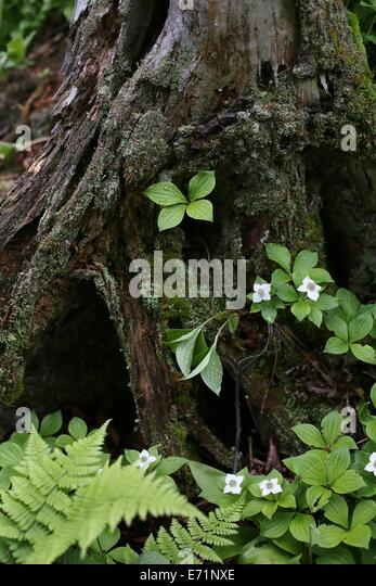 Isle royale michigan stock photos isle royale michigan stock images alamy - Flowers that grow on tree trunks ...