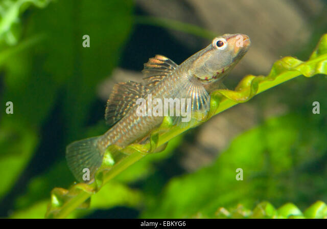 Goby fish stock photos goby fish stock images alamy for Freshwater goby fish
