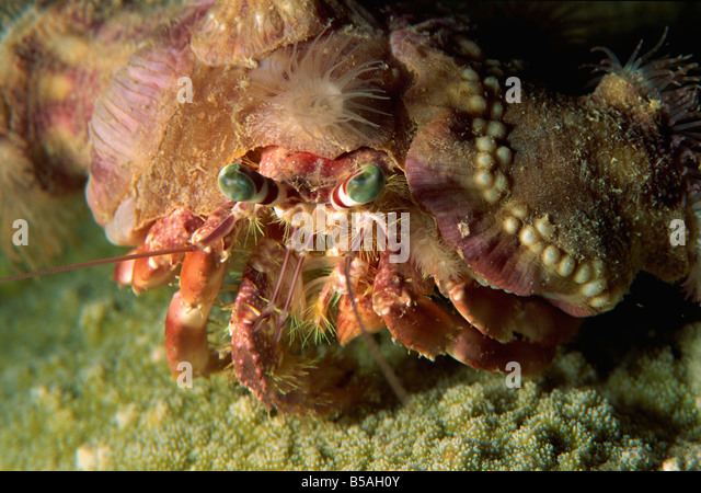 a decorator crab camouflages himself by attaching living sponges and anemones sabah borneo - Photo Decorator