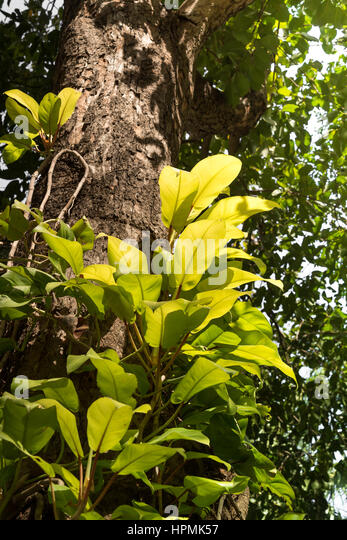 Ferns growing on tree trunk stock photos ferns growing on tree trunk stock images alamy - Flowers that grow on tree trunks ...